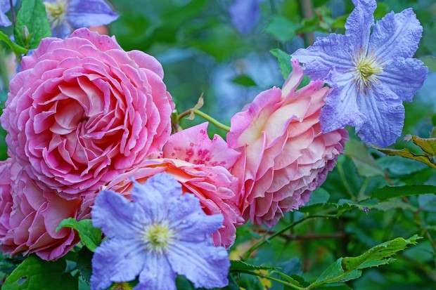 rose-and-clematis-credit-getty-images-2