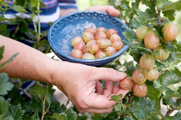 gooseberries-7