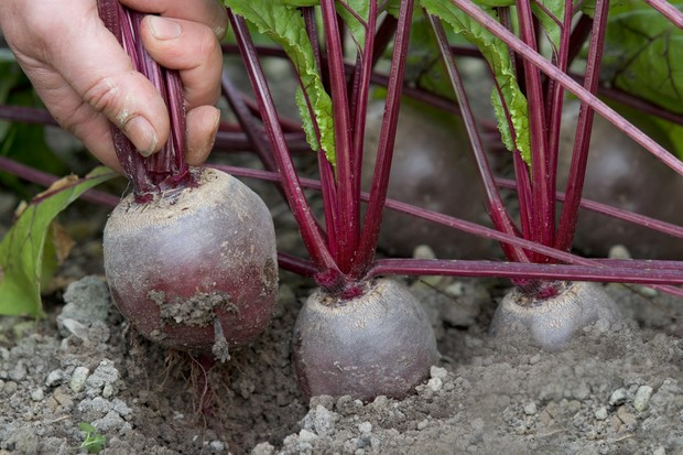 beetroot-boltardy-4