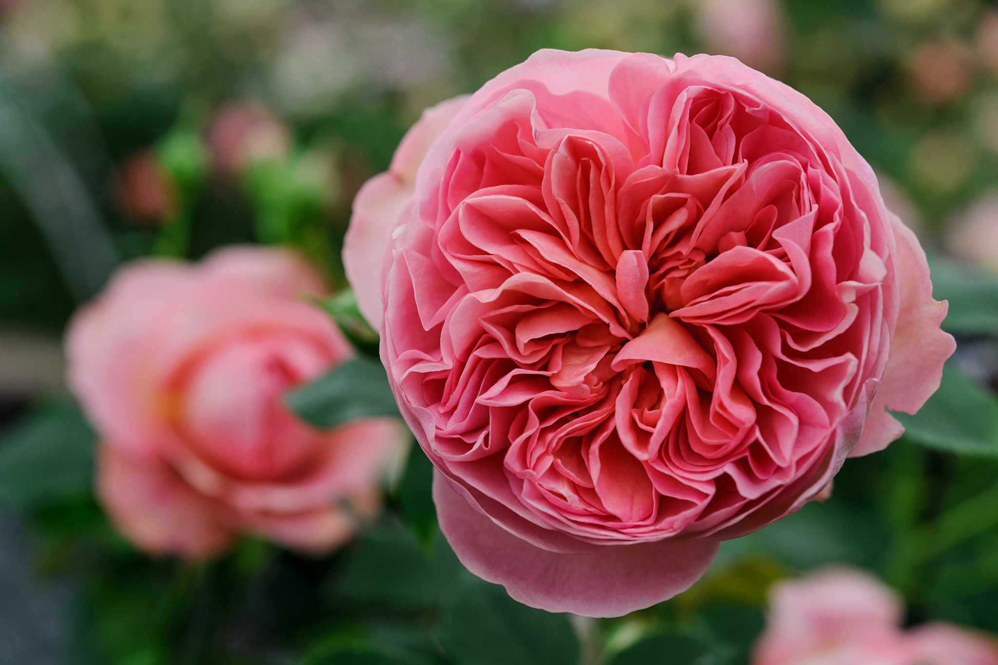 Five Ways to Grow Better Roses