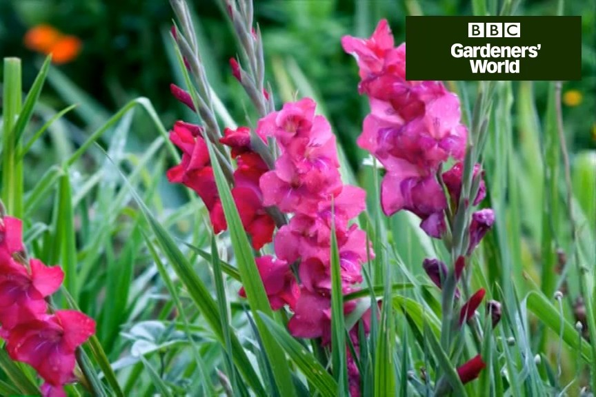 How to plant gladioli corms video