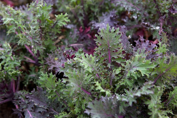 Frilly-edged purple and green leaves of young kale 'Ragged Jack' plants