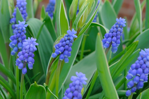 Bright-blue blooms of grape hyacinth Muscari armeniacum