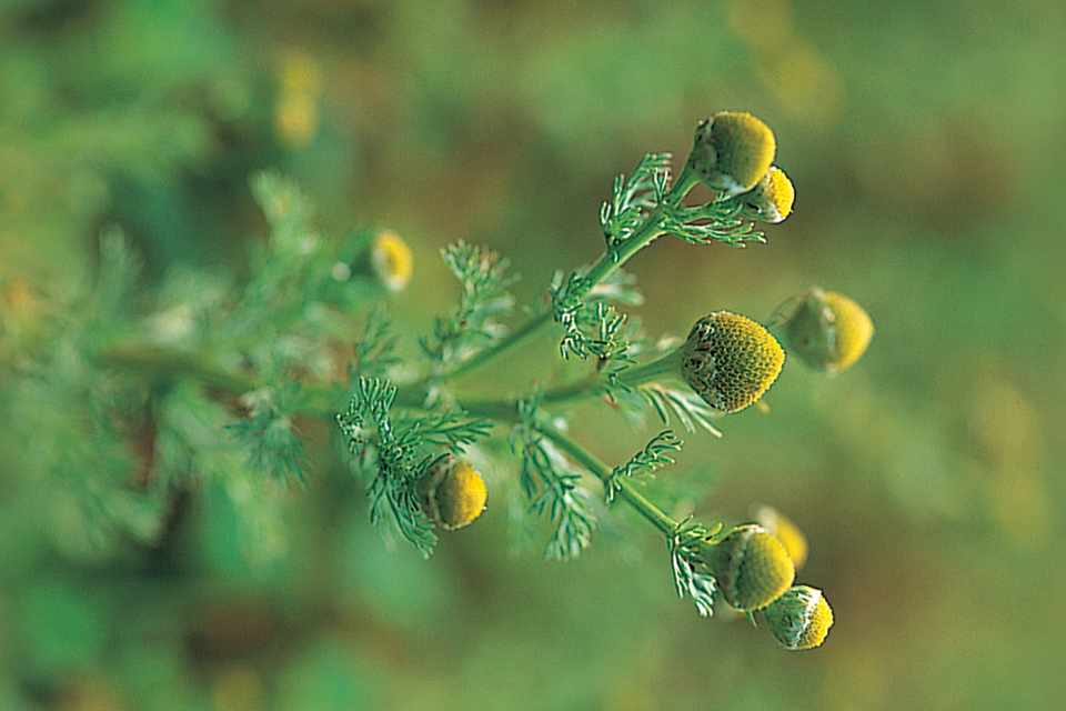 Compact yellow flowers of pineapple weed, Matricaria matricarioides