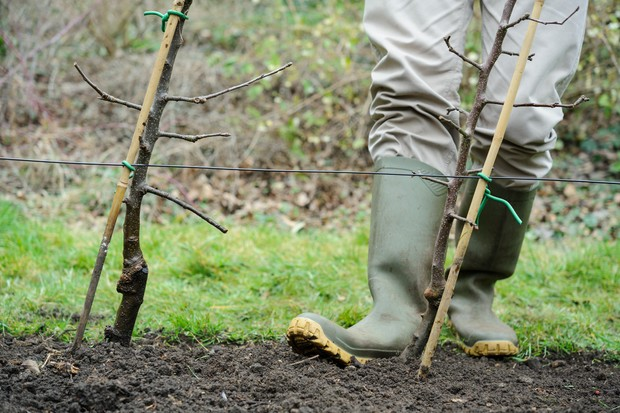 Firming in newly planted apple trees