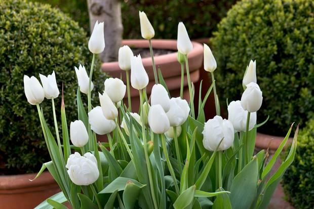 tulipa-white-triumphator-4