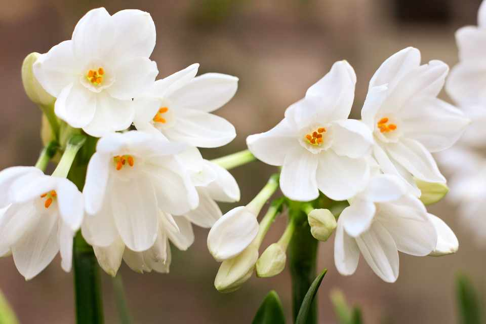 Clusters of small white Narcissus 'Ariel' blooms