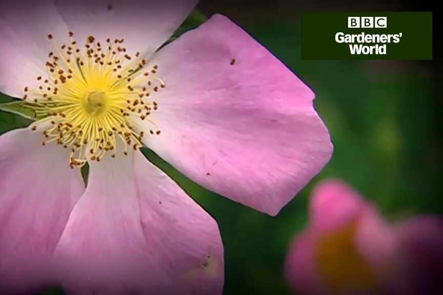 Prune a shrub rose video