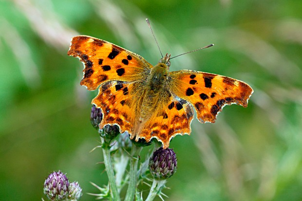 comma-butterfly-credit-butterfly-conservation-www-butterfly-conservation-org-2
