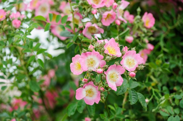 rambling-rose-7