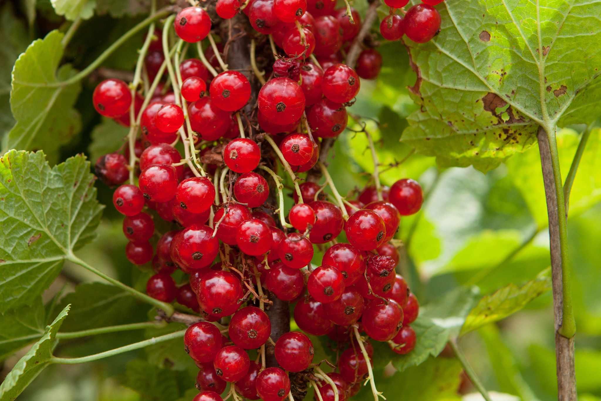 Redcurrants on bush