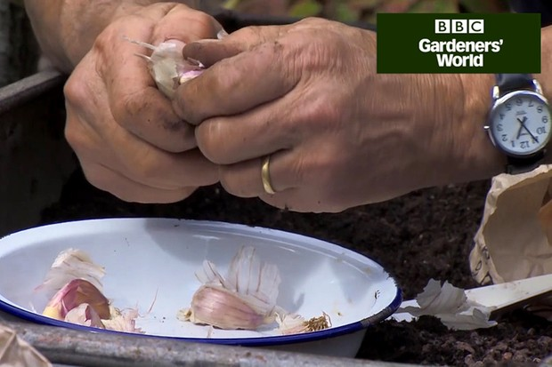 How to plant garlic in a container