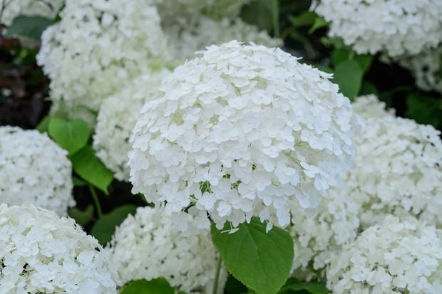 Huge, white hydrangea blooms
