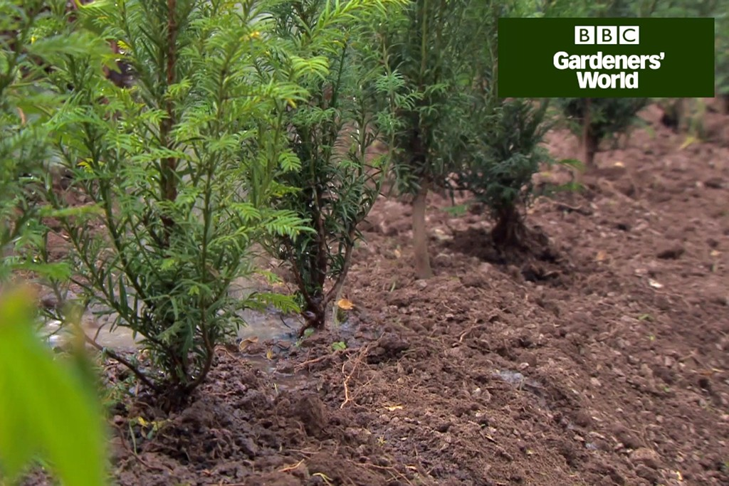 How to plant a yew hedge (video)