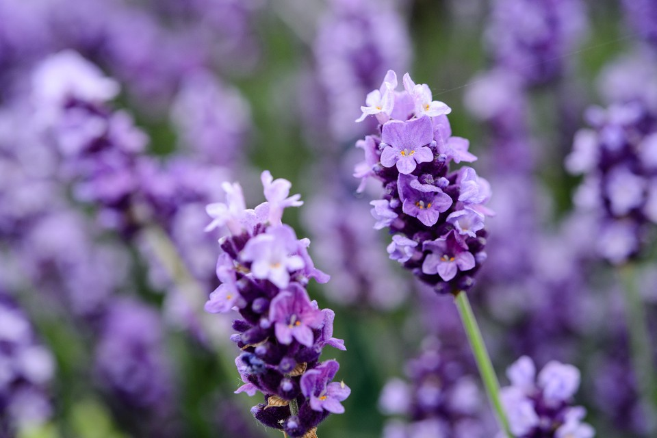How To Grow Lavender Bbc Gardeners World Magazine