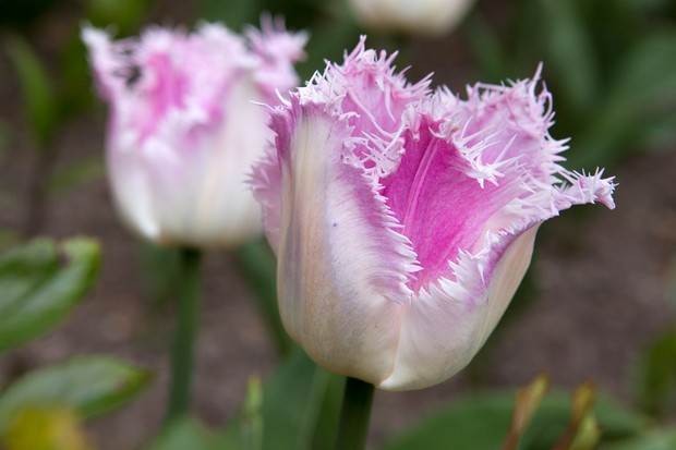 tulip-oviedo-2