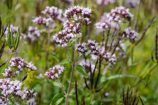 wild-marjoram-origanum-vulgare-2