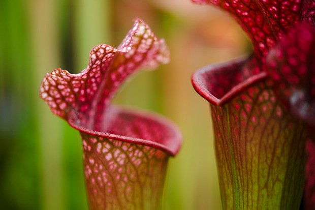 sarracenia-pitcher-plant-3