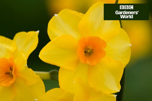 How to create a display of wallflowers and daffodils video