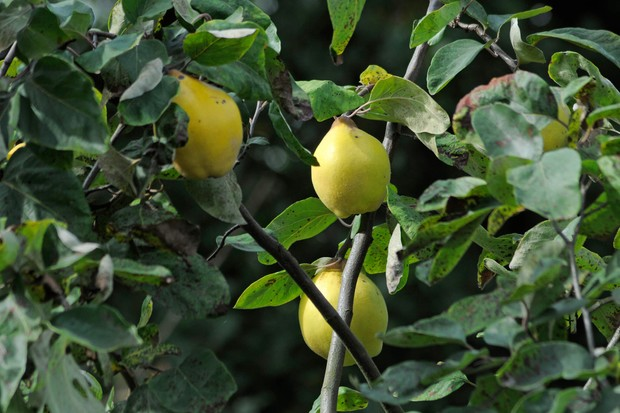 quince-tree-2