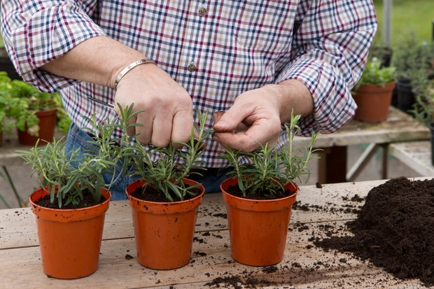 pinching-out-the-growing-tips-of-plug-plants