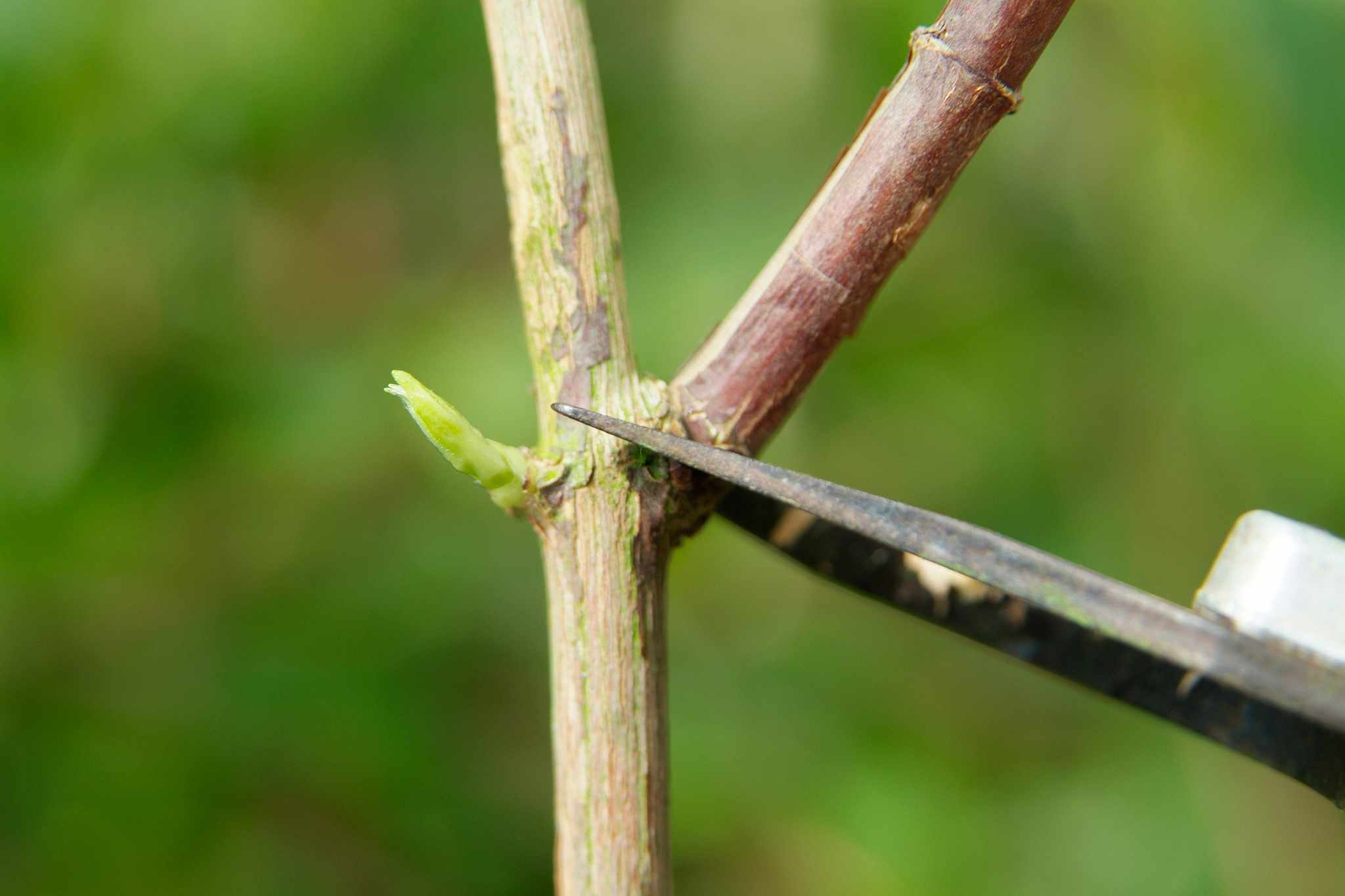How to prune spring-flowering plants