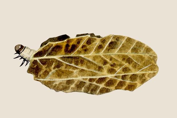 brown-china-mark-moth-elophila-nymphaeata-2