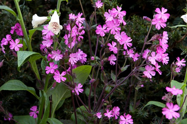 Pretty pink flowers of red campion