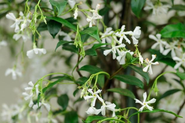 star-jasmine-trachelospermum-jasminoides-8