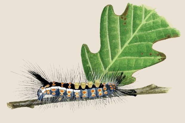 vapourer-moth-orgyia-antiqua-2