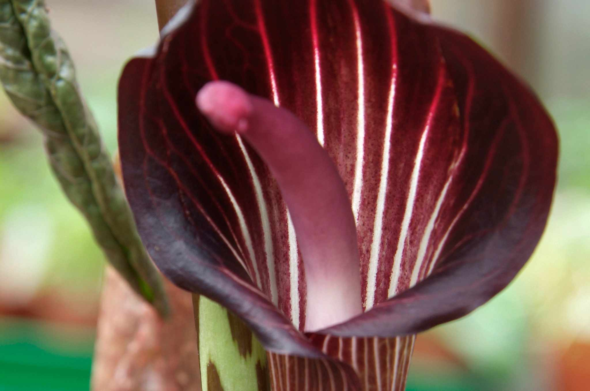 How to grow arisaema