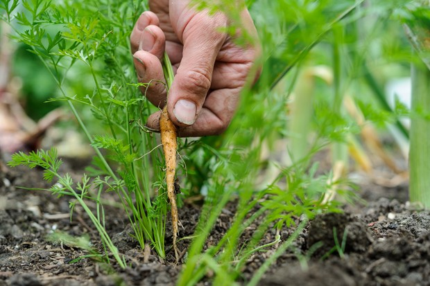 Thinning out larger carrot seedlings