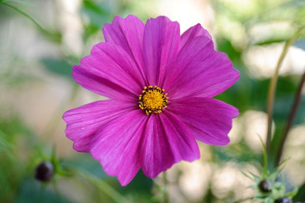Cosmos: deep-pink bloom of 'Sensation Mixed'