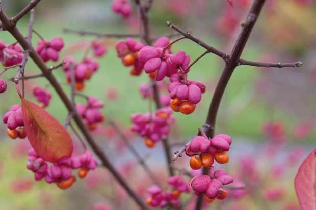 euonymus-europaeus-red-cascade-4