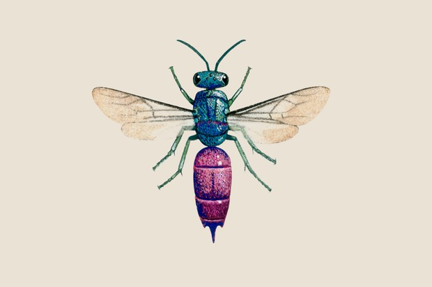 Illustration of a ruby-tailed wasp, with metallic blue-green thorax and metallic magenta abdomen