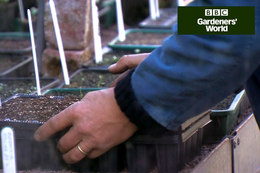 How to grow sweetcorn from seed video