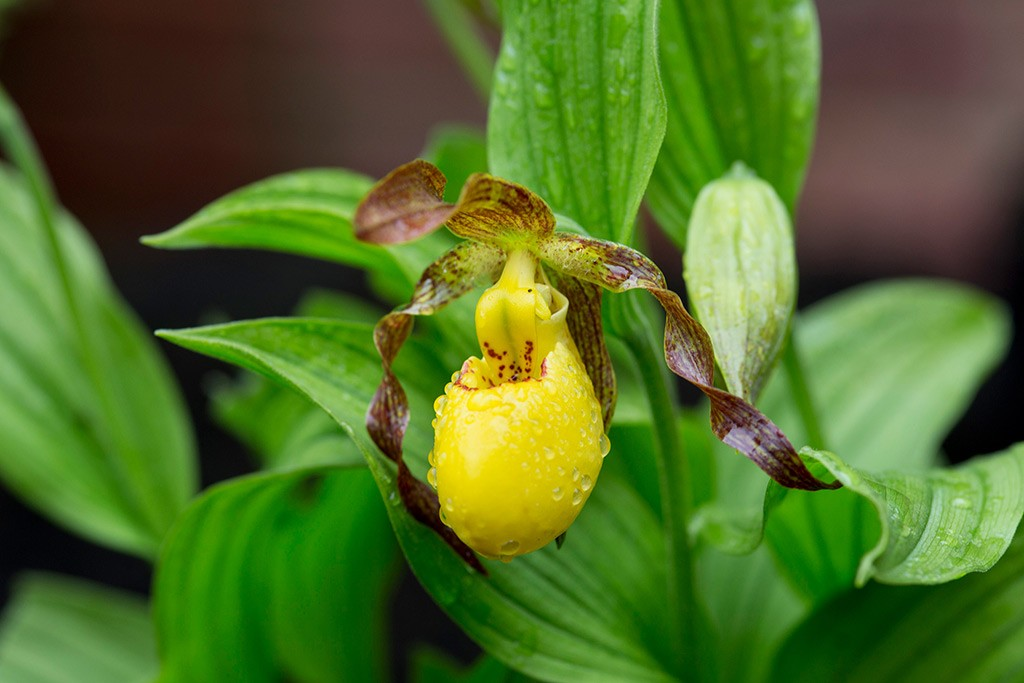 Yellow slipper orchid flower