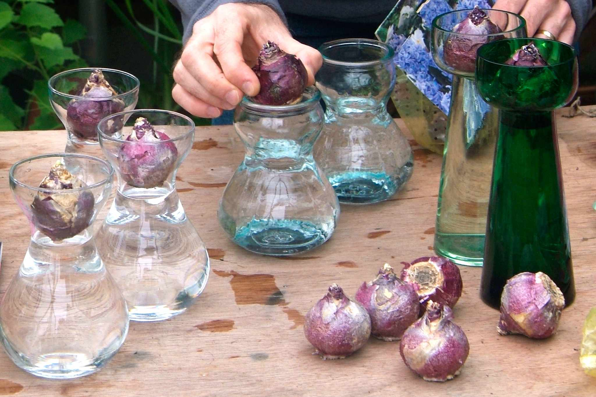 Growing hyacinths in a glass
