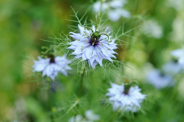 Pale blue flowers and frothy foliage of love-in-a-mist, Nigella damascena