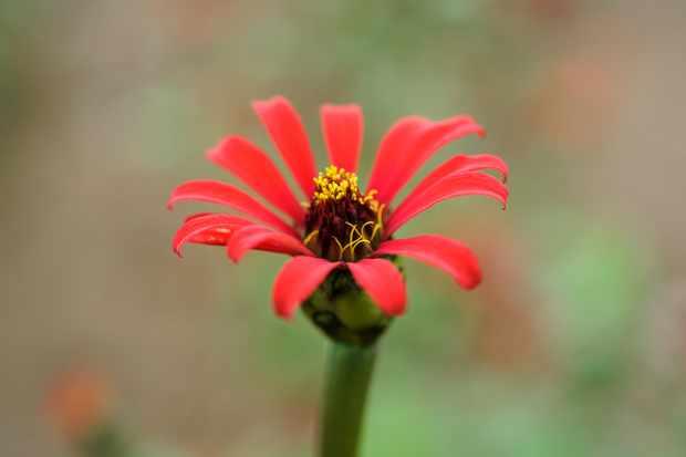 zinnia-red-spider-2