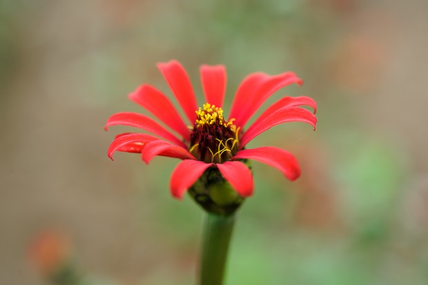 A red, spider-like flower of zinnia 'Red Spider'