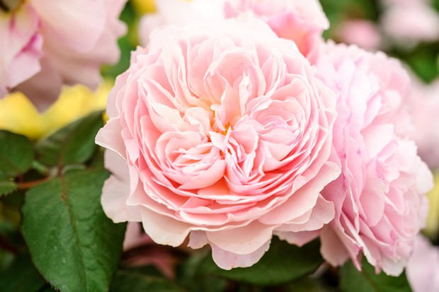 Pale-pink blooms of rose 'A Shropshire Lad'