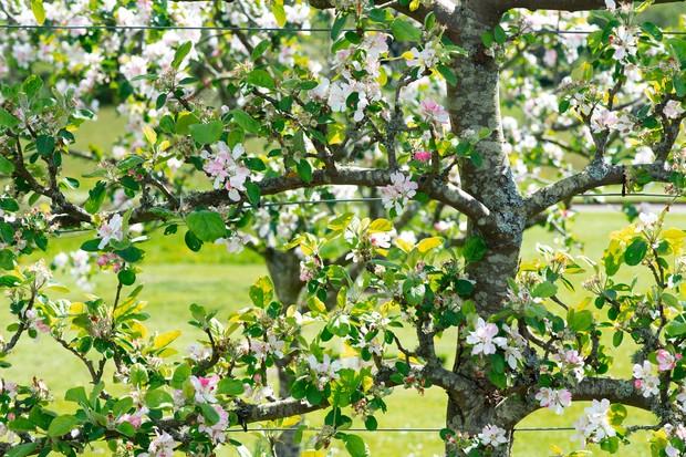 An espalier apple tree