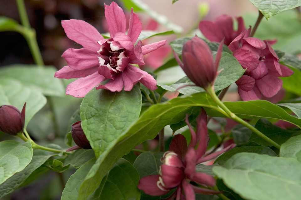 Showy, burgundy blooms of Carolina allspice