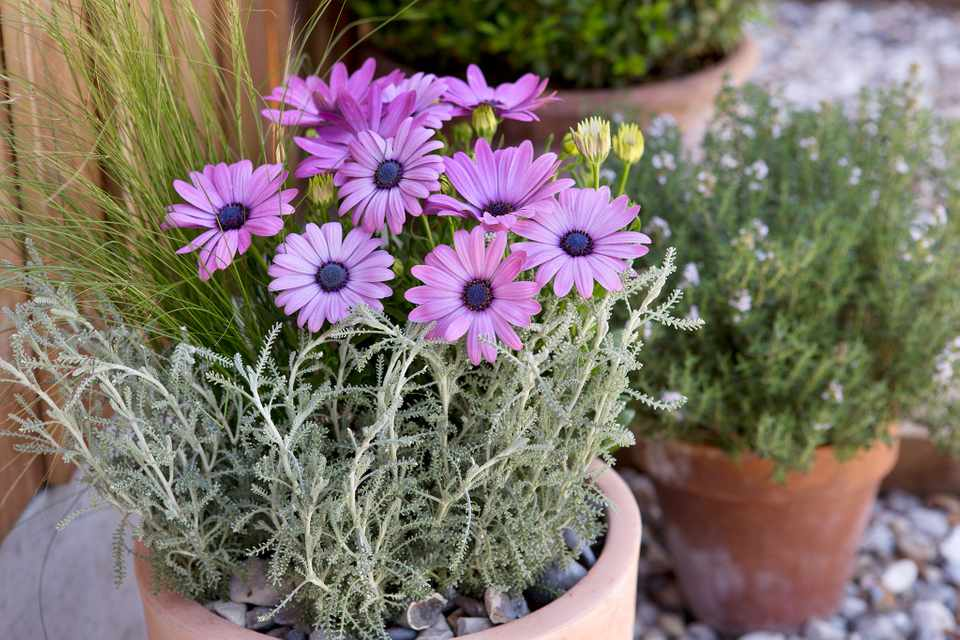 Santolina and pink osteospermum flowers in pot display