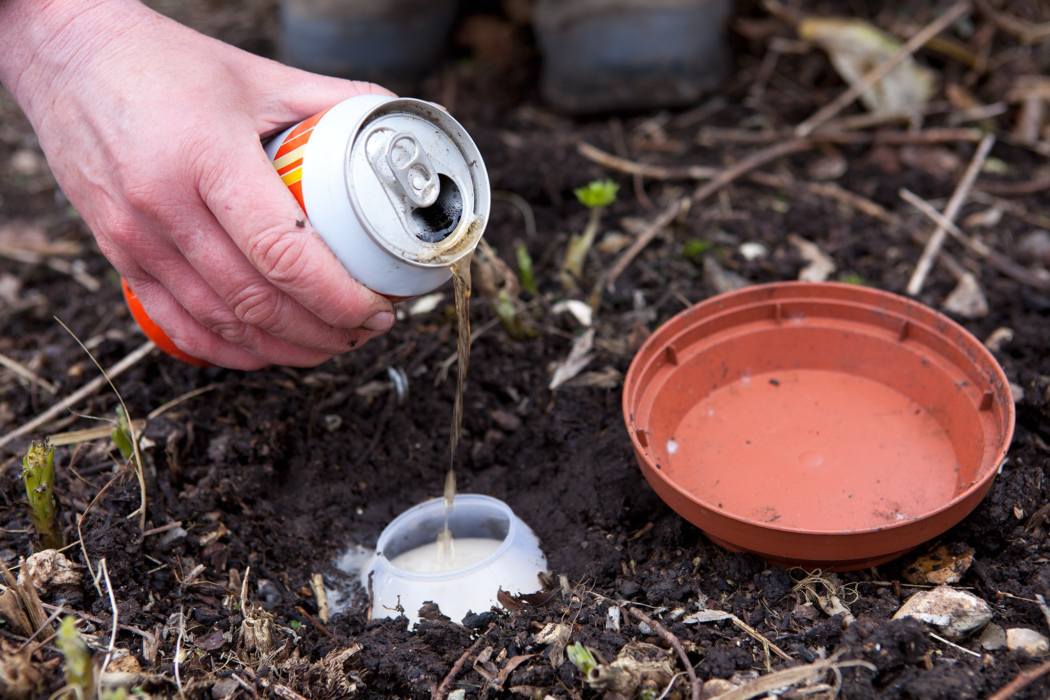 Beer traps for stopping slugs