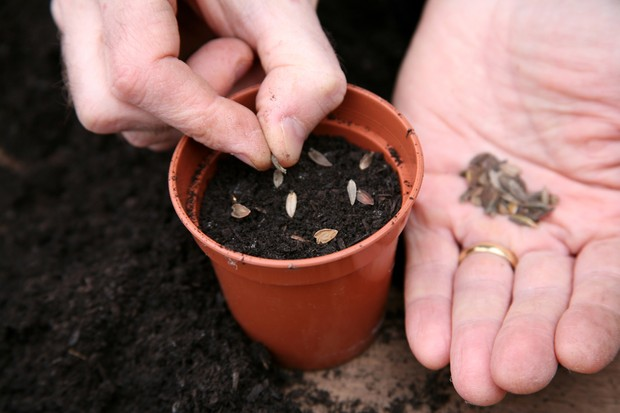 sow-the-seeds-on-damp-compost-in-pots-2