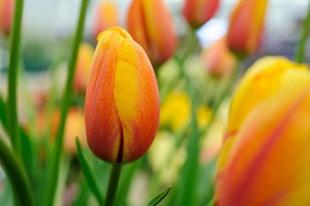 orange-tulip-flamboyant-3