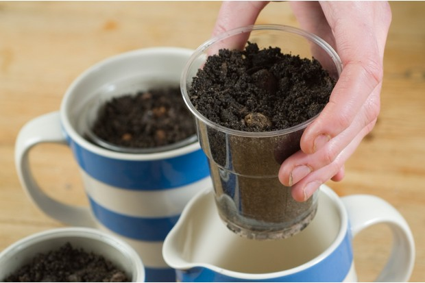 How to force anemone corms - planting the corms in compost