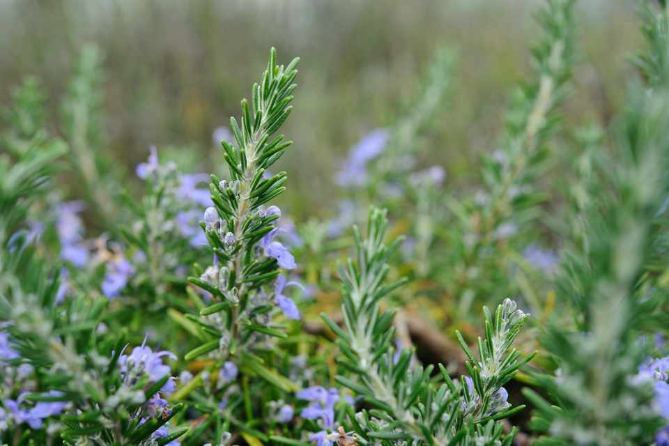 How To Grow Rosemary Step By Step Bbc Gardeners World